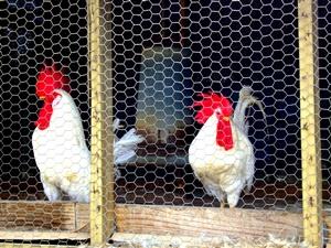 Feeding Ourselves through Egg Production